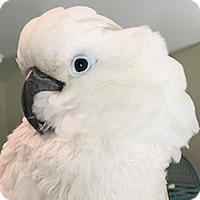 Adopt A Pet :: Zazu - Asheville, NC