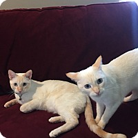 Domestic Shorthair Cat for adoption in Pasadena, California - Two white Cats