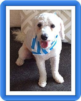 Bichon Frise Dog for adoption in Tulsa, Oklahoma - AdoptedTheo - TX