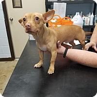 Chihuahua Mix Dog for adoption in New Braunfels, Texas - Jasper