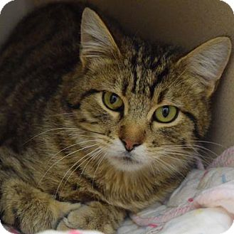 Domestic Mediumhair Cat for adoption in Denver, Colorado - Reese