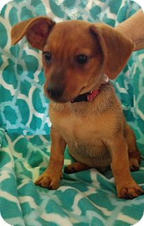 Hound (Unknown Type)/Shepherd (Unknown Type) Mix Puppy for adoption in Baton Rouge, Louisiana - Curly