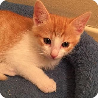 Domestic Shorthair Cat for adoption in Los Angeles, California - Amador