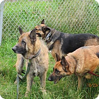 German Shepherd Dog Mix Dog for adoption in Tillamook, Oregon - Thor Sky and Nova