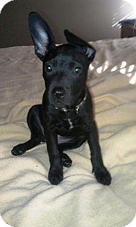 Labrador Retriever/Shepherd (Unknown Type) Mix Puppy for adoption in Youngstown, Ohio - Tootsie ~ Adoption Pending