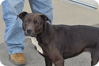 Labrador Retriever/Pit Bull Terrier Mix Dog for adoption in New Cumberland, West Virginia - Cora