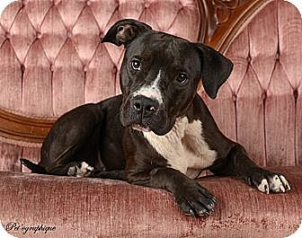 American Pit Bull Terrier/American Staffordshire Terrier Mix Dog for adoption in Las Vegas, Nevada - Mamie