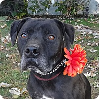 Adopt A Pet :: Otis *The Black Beauty* - Canoga Park, CA