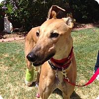 Adopt A Pet :: Marigold - Tucson, AZ