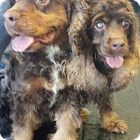Adopt A Pet :: Krissy - Sugarland, TX