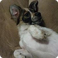 Adopt A Pet :: Mr. Wiggles Von Fluffenbottom - Glendale, AZ