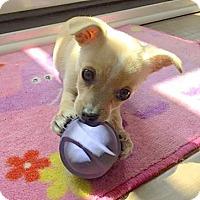 Adopt A Pet :: Darla - Los Angeles, CA