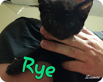 Bombay Kitten for adoption in McDonough, Georgia - Rye