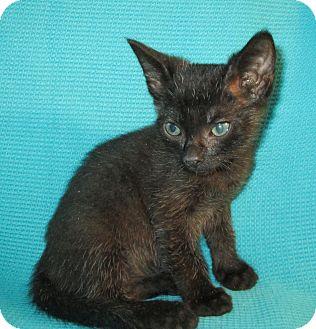 Bombay Cat for adoption in San Bernardino, California - R2D2