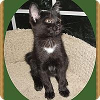 Adopt A Pet :: Briar - Mt. Prospect, IL
