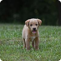 Adopt A Pet :: Ashley - Groton, MA