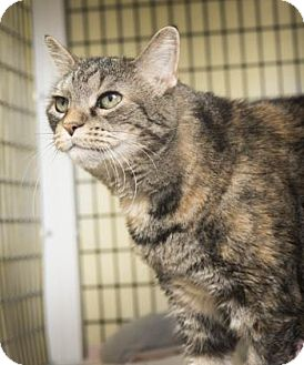 Domestic Shorthair Cat for adoption in Denver, Colorado - Hunter