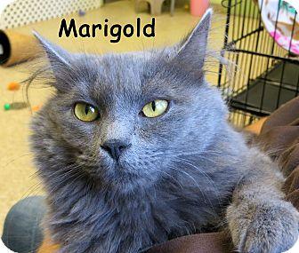 Domestic Mediumhair Cat for adoption in Warren, Pennsylvania - Marigold