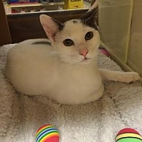 Domestic Shorthair Kitten for adoption in Pompano Beach, Florida - Meadow