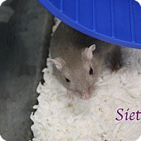 Gerbil for adoption in Bradenton, Florida - Siete