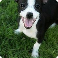 Chihuahua Mix Puppy for adoption in Phoenix, Arizona - Panda
