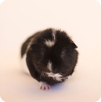 Guinea Pig for adoption in Fullerton, California - Bo