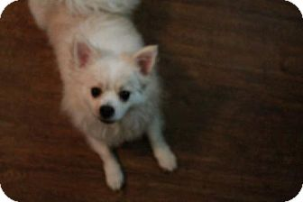 Pomeranian Dog for adoption in Dallas, Texas - Renley