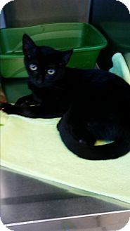 Domestic Shorthair Kitten for adoption in Chippewa Falls, Wisconsin - Emmo