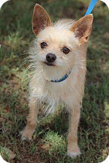 Chihuahua Mix Dog for adoption in McAllen, Texas - Savannah