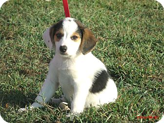 Border Collie/Beagle Mix Puppy for adoption in Sanford, Maine - BUSTER