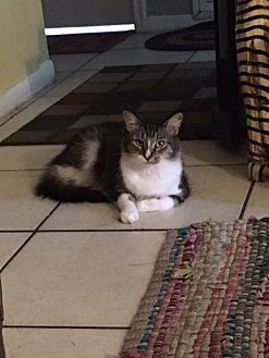 Domestic Shorthair Cat for adoption in Royal Palm Beach, Florida - Doris