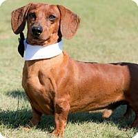 Adopt A Pet :: Polo - Carrollton, TX