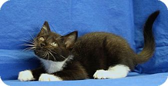 Domestic Shorthair Kitten for adoption in Winston-Salem, North Carolina - Lenny