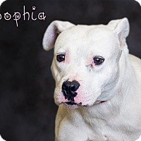 Adopt A Pet :: Sophia - Somerset, PA