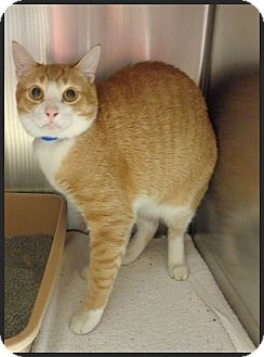 Domestic Shorthair Cat for adoption in Marietta, Georgia - PRINCE
