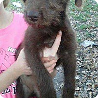 Terrier (Unknown Type, Small) Mix Puppy for adoption in Allen, Texas - Wilma