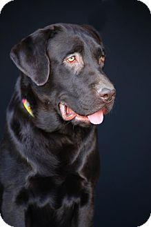 Labrador Retriever Dog for adoption in SAN PEDRO, California - Pilgrim