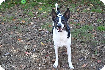 Rat Terrier/Border Collie Mix Dog for adoption in Broadway, New Jersey - Buster