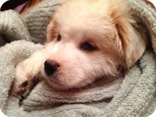 Golden Retriever Mix Puppy for adoption in Danbury, Connecticut - Nevilla Pup