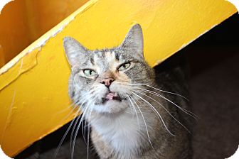 Domestic Shorthair Cat for adoption in Grand Rapids, Michigan - Nellie