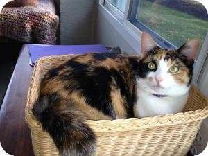 Calico Cat for adoption in Vero Beach, Florida - Patches