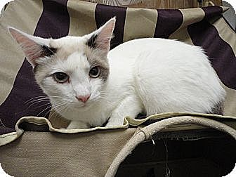 Domestic Shorthair Cat for adoption in MADISON, Ohio - Camilla
