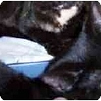 Adopt A Pet :: Majik - Stuarts Draft, VA