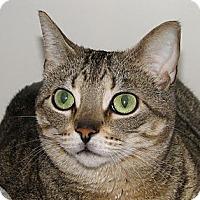 Domestic Shorthair Cat for adoption in Woodstock, Illinois - Skylar