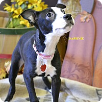 Adopt A Pet :: DAPHNEY - Higley, AZ