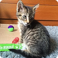 Adopt A Pet :: Bumblebee - Berkeley Hts, NJ