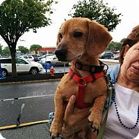 Adopt A Pet :: Rooney - North Brunswick, NJ