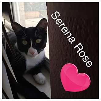 Domestic Shorthair Cat for adoption in Cerritos, California - Serena Rose