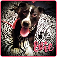 American Pit Bull Terrier/Labrador Retriever Mix Dog for adoption in Pensacola, Florida - Evie
