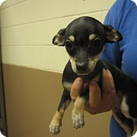 Adopt A Pet :: PAPRIKA - Reno, NV